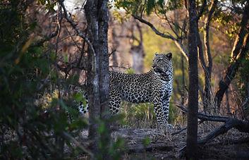 Londolozi Leopard.jpg
