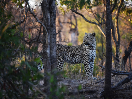 New Release: The Leopard of Londolozi