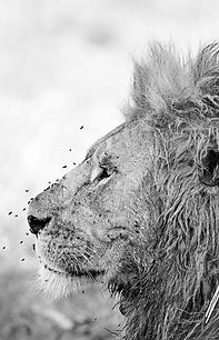 Portrait of a male lion in the Serengeti