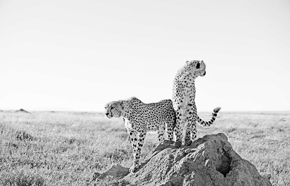 Cheetah siblings on termite mound
