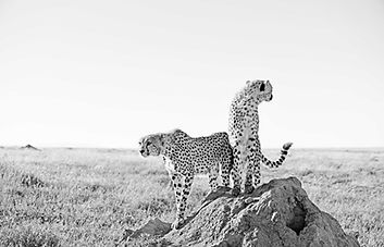 Cheetahs on termite mound