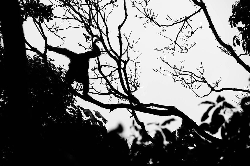 chimp silhouette