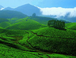 Nilgiris Tea