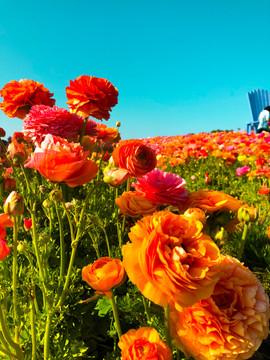 Flowers At The Flower Fields In CarlsbadStudioSisson