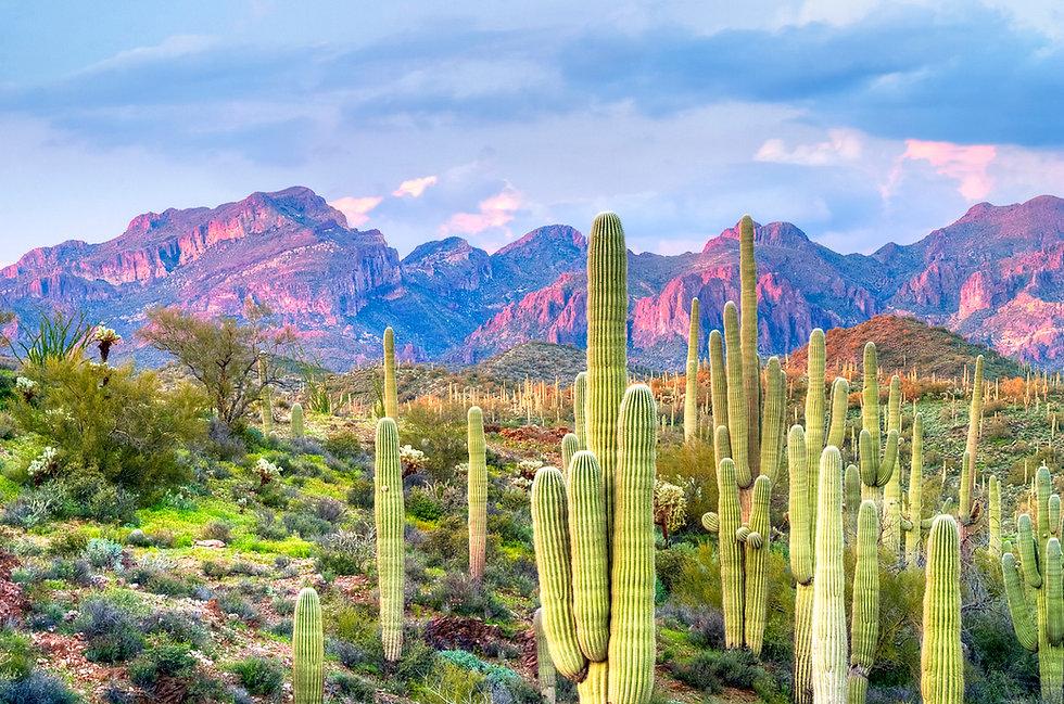 iStock-467538080_Sonoran desert sahuaros