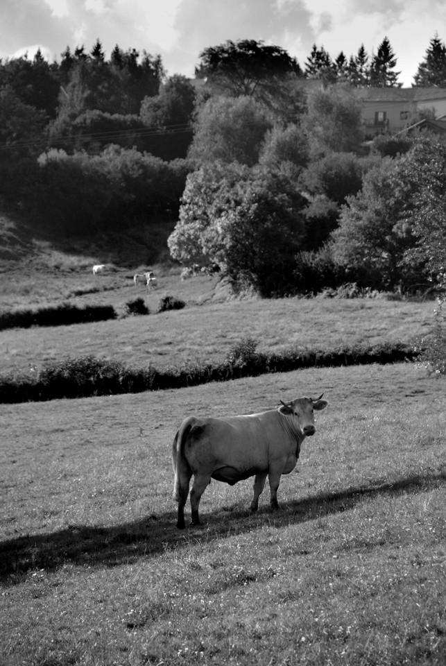 vache-1.jpg