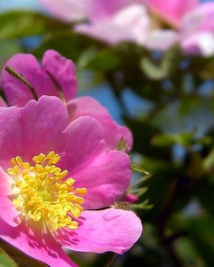 rosa-canina.jpg