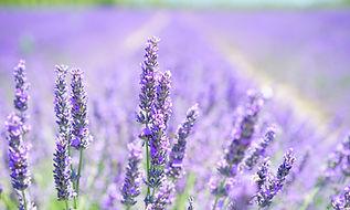lavender-blossom-1595581.jpg