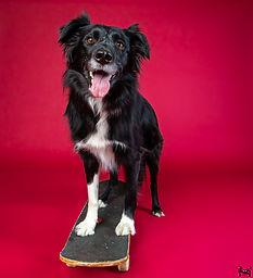 border collie riding skateboard