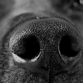 dog nose.png
