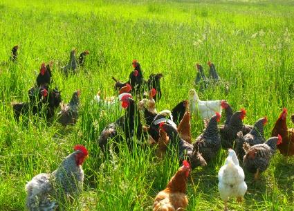 Vente de poulets bio