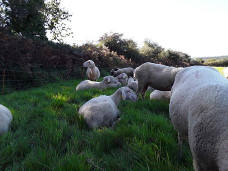 Moment de repos pour les agnelles