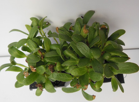 Benefits of Eating Fenugreek Microgreens