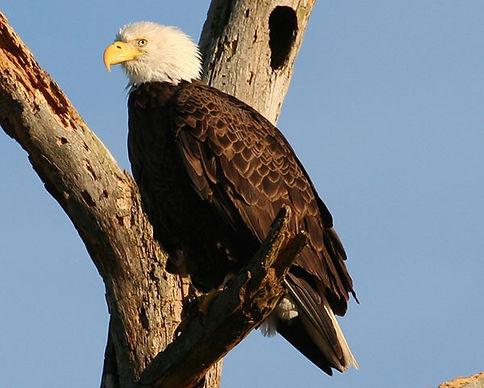 bald-eagle-crop.jpg