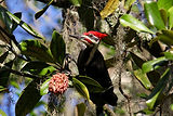 pilleatedwoodpecker.jpg