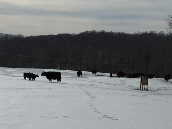 cows in snows.jpg