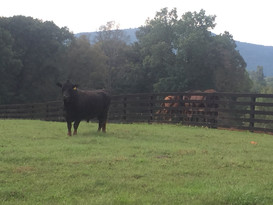 bull and horses.jpg