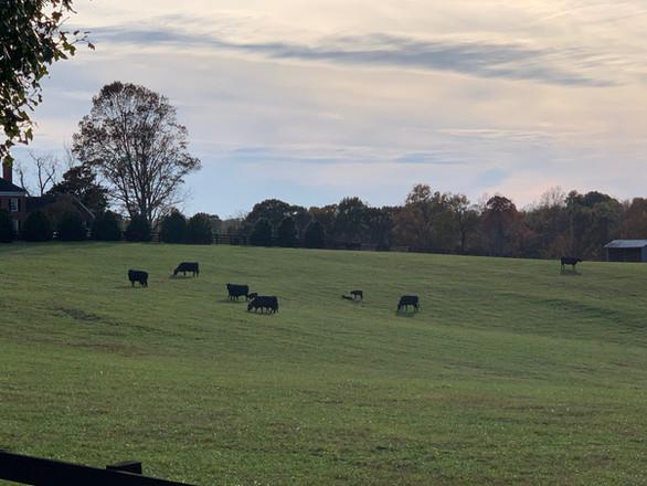cows in front field.jpg