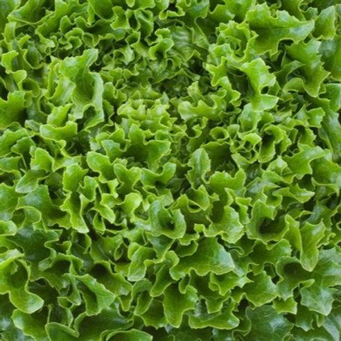 Lettuce - Multi-green