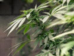 cannabis-1062902 (1).jpg