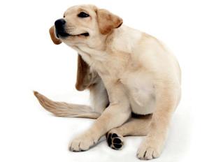 Las 7 enfermedades de la piel mas comunes en perros