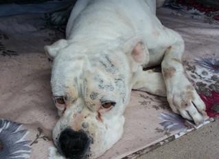 Cómo detectar y tratar la anemia en perros