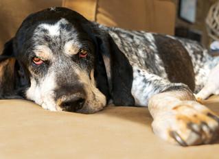 ¿Cómo saber si tu perro tiene fiebre?