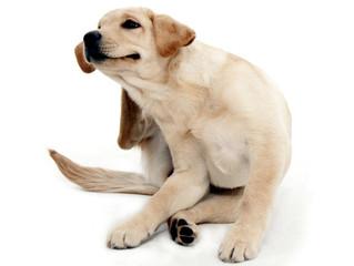 ¿Por qué mi perro se rasca?