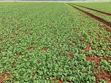 Todos los cultivos agradecen las últimas lluvias, aunque hay que prevenir enfermedades