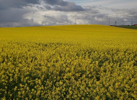 Cleranda y Caramba, soluciones para el cultivo de la colza.