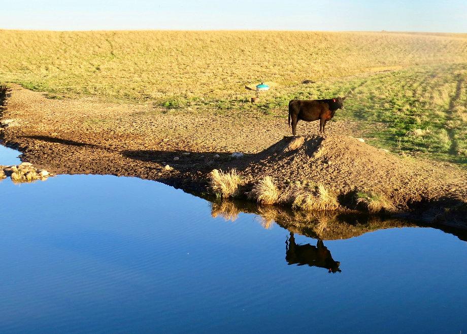 cow 5-2.jpg