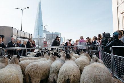 Sheep Drive.jpg