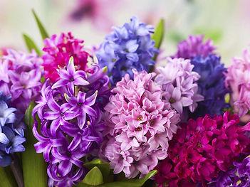 Hyacinths-Blooms.jpg