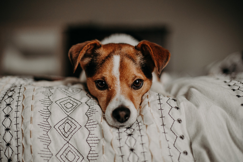 picture of a jack russell terrier dog on bed