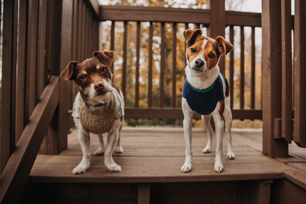 Two cute terrier dogs with tilted heads