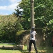 Cedar felling