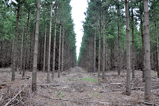 Due Diligence, Valuation, Forestry SA, Pinus radiata, Pine