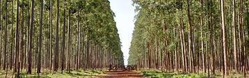 Forest Management, Eucalyptus Clones,Eucalyptsu Veneer