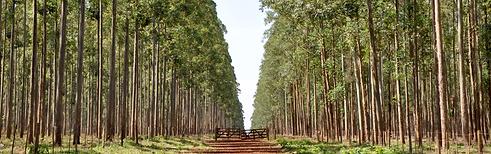 Forestal Yguazu, Shell Renewables, Eucalyptus hybrid, urograndis, Eucalipto, Project Management, Project Design