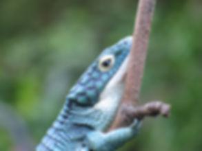 Seattle Reptle Guy Bromelia Alligator Lizard