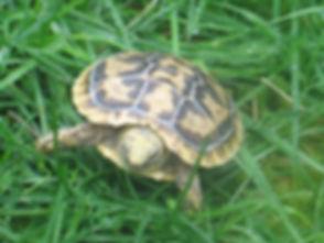 Seattle Reptile Guy Baby Pancake Tortoise