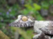 Seattle Reptile Guy Madagascar Giant Leaf Tailed Gecko