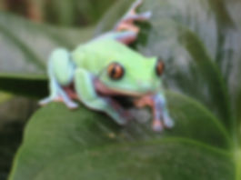 Seattle Reptile Guy Blue Sided Leaf Frog