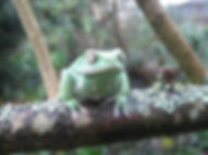 Seattle Reptile Guy Waxy Monkey Frog