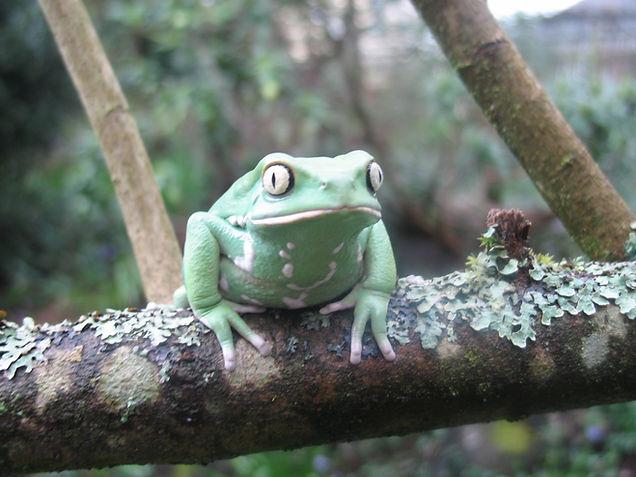 Seattle Reptile Guy Waxy Monkey Frog