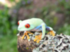 Seattle Reptile Guy Red Eyed Tree Frog