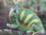 """Grumpy"" the Veiled Chameleon"