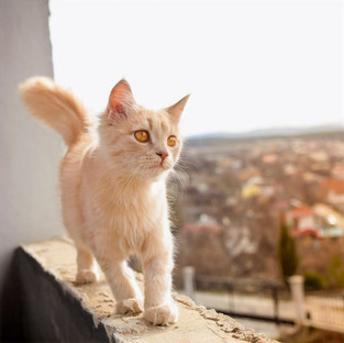 What is Feline High-Rise Syndrome?