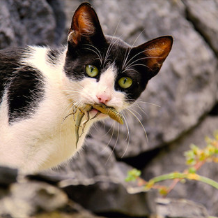 Free-Roaming Cats and the Threat They Pose to Biodiversity