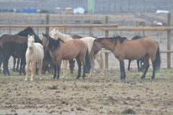 Our Carter Reservoir Wild Mustang Mares